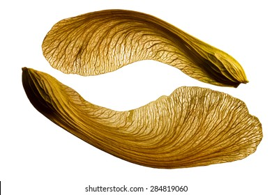 Image of a single maple seed isolated on a white background