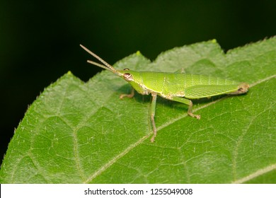Image of Slant-faced or Gaudy grasshopper(Acrididae)on a green leaf. Locust, Insect, Animal.