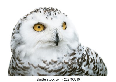 image of snowy owl isolated on white background
