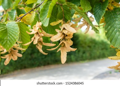 An image of some typical seeds of a hornbeam tree