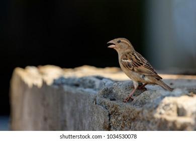 Image of sparrow on the floor. bird. Animal.