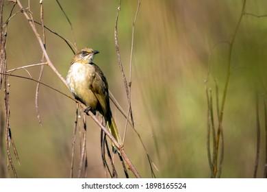 Image of streak-eared bulbul birds on nature background. Animal. Birds. (Pycnonotus blanfordi)