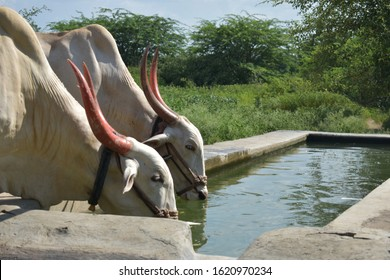 Image of strength hardworking bulls drinking water