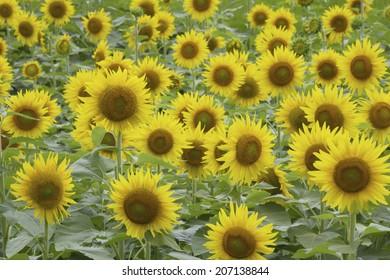 An image of Sunflower Field