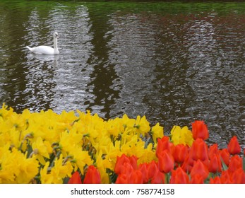 Image of swan on lake in Holland