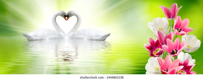 image of swans on the water in the park closeup