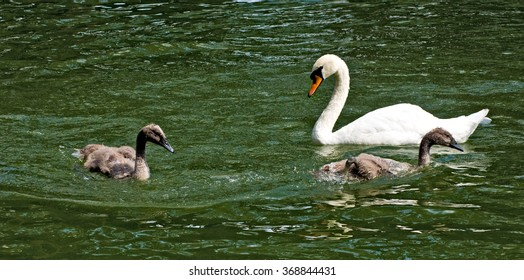 image of swans in a pond closeup