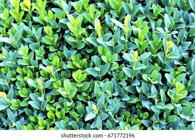 An image of a taxus background