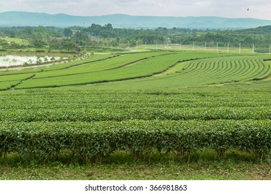 image of Tea field at Boon Rawd Farm is one of the largest tea produce in Thailand ,Chiang Rai