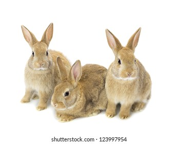 Image of thee cute young golden rabbits sitting on white background.