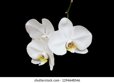 An image of three brilliant white orchid flowers with a yellow and bright pink central part on a stem on a black background