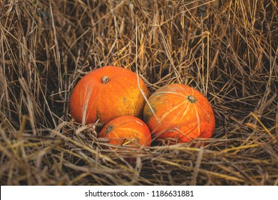 Image of three cute pumpkin lying in the withered rye field in fall