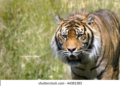 Image of a tiger hunting in long grass looking towards the camera
