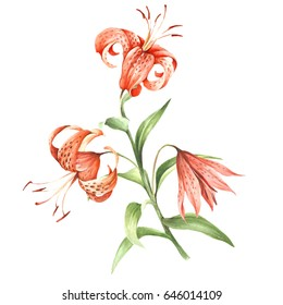 Image Tiger lily flowers. Hand draw watercolor illustration.