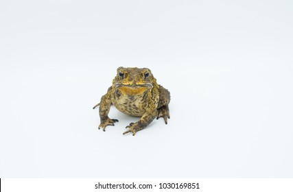 image of a   toad(Bufonidae) isolate in the with blackground