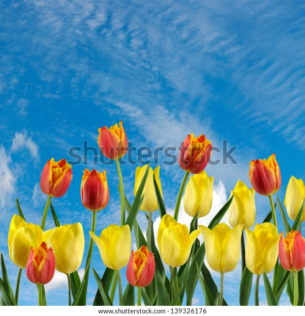 image of tulips on a  blue sky background