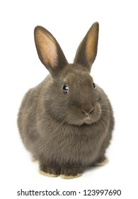 image of velvet brown rabbit sitting on white background.