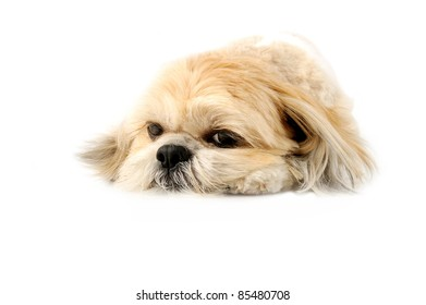 Image of a very cute Lhasa with puppy eyes on a white background
