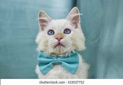 Image of a very cute Ragdoll Cat sporting a blue bowtie