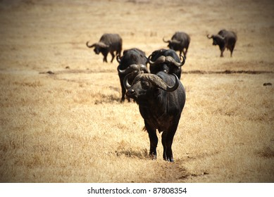 Image with vignetting of an African buffalo group