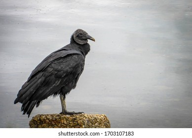 image of vulture on a rock