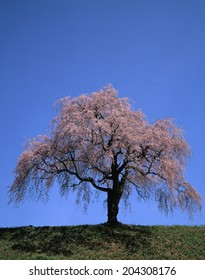 An Image of Weeping Cherry