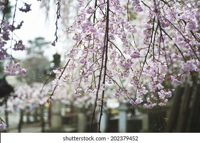 An Image of Weeping Cherry Tree