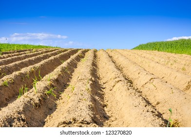 An image of wheat corn