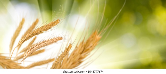 image of wheat in field close-up