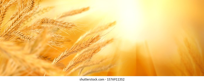 image of wheat in the field on blurred background close-up - Shutterstock ID 1576911352