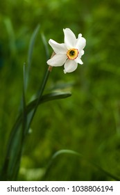 Image of white daffodil with yellow trumpet with selective focus. White daffodil on the green background. White blossoming narcissus.