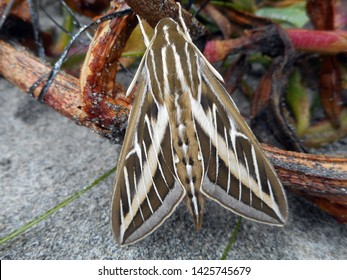 Image of white lined sphinx moth perched on seaweed on the beach.