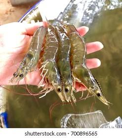 image of white shrimp the animal economy fresh shrimp selected shrimp for export