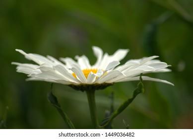 Image of white and yellow Shasta daisies