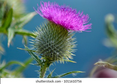 An image of a wild Scottish Thistle. Gorgeous purple flower supported and protected by a green, jagged, round shaped bulb. Jagged green leaves and stem.