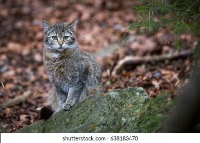 Image of a Wildcat (Felis silvestris) in Germany