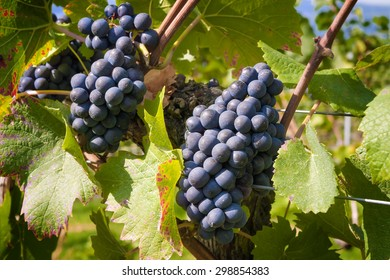 Image of wine grapes on Lake Constance in autumn