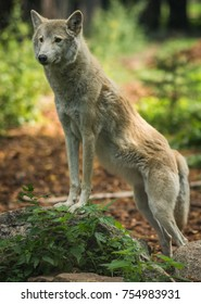 Image of wolf in natural habitat, Curonian Spit, Kaliningrad region, Russia