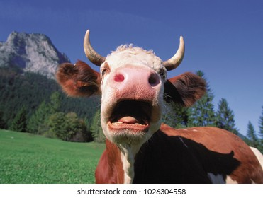 An image of Yawning cow