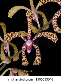 Image of a yellow and brow spider orchid