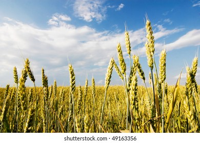 An image of yellow rye and blue sky