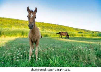 Image of young foal. Portrait of cute domestic brown horse grazing on the meadow / country in summer day. Natural ecosystem.
