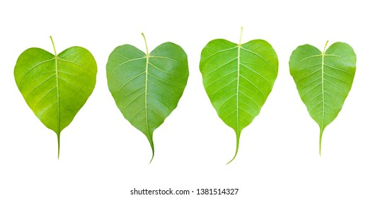 image of young leaf of Bodhi Tree isolated on white background.