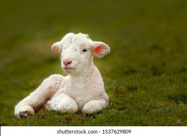 Image of a young, little white lamb with glamour glow effect, with green grass natural background.