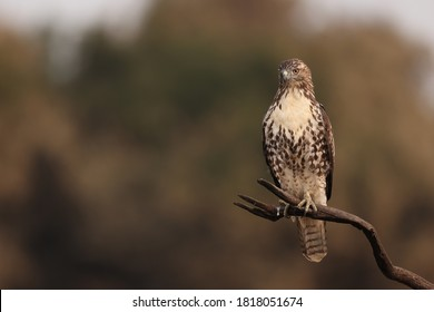 An image of a young red tailed hawk.