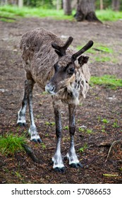 Image of young reindeer