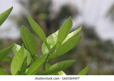 Images for Green leaf tree