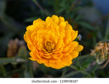 The images shows an isolated yellow Aster flower, a genus of perennial flowering plants in the family Asteraceae. It was clicked at Sangla in Himachal Pradesh, India in September 2017.