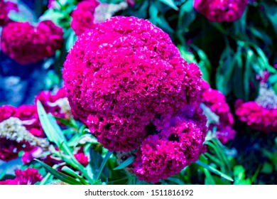 Images of Wool flower/Brain Celosia/Celosia Cristata, are also known as Bunga Jengger Ayam/ Cockscomb flowers. Photographed in close up.