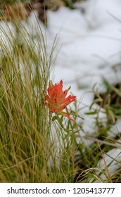 Imagine my surprise while walking across a snowy slope as this Paintbrush survivor popped into sight as yet another contrast to the seasons of summer, fall, and winter sharing the landscape.